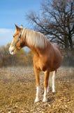 Estländsk röd häst på en bakgrund av hösten Fotografering för Bildbyråer
