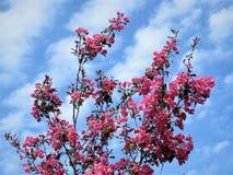 In Estland-Frühling Blau 2018 des Kirschblüte-Farbhimmel-freien Raumes Stockbild