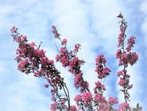 In Estland-Frühling Blau 2018 des Kirschblüte-Farbhimmel-freien Raumes Stockfotos