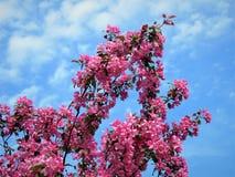 In Estland-Frühling Blau 2018 des Kirschblüte-Farbhimmel-freien Raumes Lizenzfreies Stockfoto