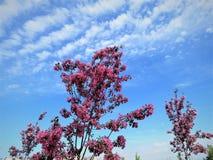 In Estland-Frühling Blau 2018 des Kirschblüte-Farbhimmel-freien Raumes Stockfoto
