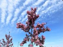 In Estland-Frühling Blau 2018 des Kirschblüte-Farbhimmel-freien Raumes Lizenzfreie Stockfotografie
