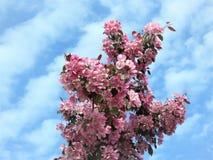 In Estland-Frühling Blau 2018 des Kirschblüte-Farbhimmel-freien Raumes Lizenzfreie Stockbilder