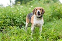 Estlands hondenportret Stock Afbeelding