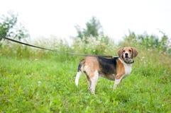 Estlands hondenportret Stock Afbeeldingen
