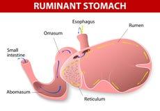 Estómago del rumiante Imagen de archivo libre de regalías