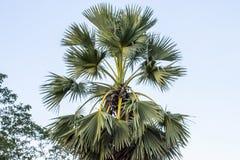 Esto es un árbol de Plam fotografía de archivo libre de regalías