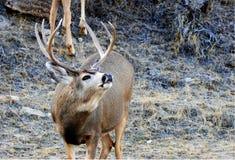 Dólar de los ciervos mula en rodera imágenes de archivo libres de regalías
