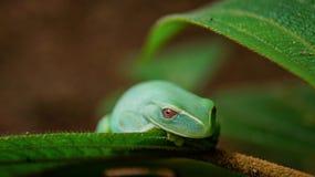 Esto es una pequeña rana verde encontrada en el gran bosque de Tijuca, bosque situado en el medio de la gran ciudad de Rio de Jan imagenes de archivo