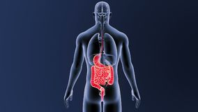 Estomac et intestin avec des organes illustration libre de droits