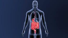 Estomac et intestin avec des organes illustration stock