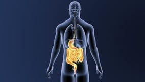 Estomac et intestin avec des organes illustration de vecteur
