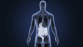 Estomac et intestin avec l'anatomie illustration stock