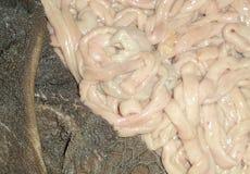 Estomac et intestin des moutons Image stock