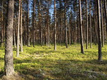 estonia lasu sosna Obrazy Royalty Free