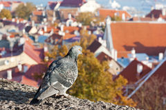 estonia widok Tallinn Fotografia Stock