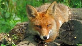 Estonian fox lying on wood Stock Image