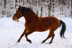 Estonian horse. Breed in a winter forest Royalty Free Stock Image