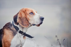 Estonian Hound. Dog outdoor  portrait at cloudy day Royalty Free Stock Image