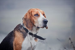 Estonian Hound royalty free stock image