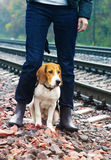 Estonian hound at the girl`s legs in blue jeans. Royalty Free Stock Images
