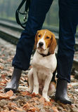 Estonian hound at the girl`s legs in blue jeans. Stock Photos