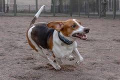 Estonian Hound running stock photos
