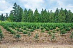 Estoque de plantação dos pinheiros na estrada Fotos de Stock