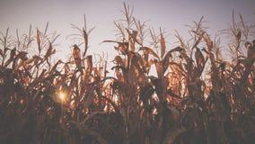 Estoques do milho em outubro imagem de stock