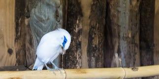 Estorninho branco do myna de bali que senta-se em um ramo de bambu, em um pássaro tropical e criticamente posto em perigo de Indo imagens de stock royalty free