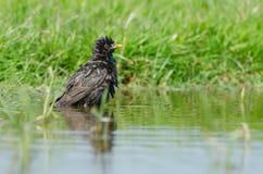 Estorninho comum (Sturnus vulgar) que banha-se na água foto de stock royalty free