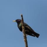 Estorninho natural (sturnus vulgar) que senta-se no ramo no céu azul Fotografia de Stock Royalty Free