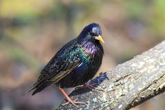 estorninho preto do pássaro na árvore na mola no parque Fotografia de Stock