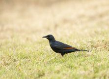 Estorninho voado vermelho visto em Masai Mara fotos de stock royalty free