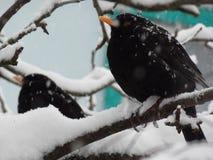 Estorninhos na neve na árvore Imagens de Stock Royalty Free