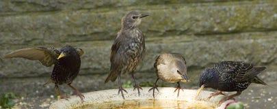 Estorninhos que alimentam em um banho do pássaro Fotos de Stock Royalty Free