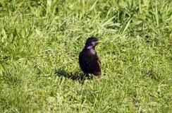 Estornino común en una hierba Imagen de archivo libre de regalías