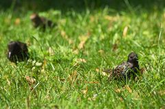 Estornino en hierba verde Fotografía de archivo