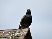 Estornino en una tabla del pájaro Fotos de archivo