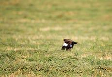 Estornino en vuelo sobre un campo verde Fotos de archivo libres de regalías