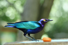 Estornino esmeralda - purpurrotes glattes Starling Stockfoto