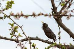 Estornino hermoso del pájaro en un árbol floreciente Fotografía de archivo