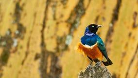 Estornino magnífico, un pájaro africano colorido Imagen de archivo libre de regalías