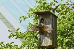 Estornino que alimenta un polluelo hambriento Imágenes de archivo libres de regalías
