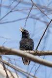 Estornino que canta en un árbol Foto de archivo