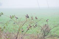 Estornino y Rosy Starling Flock de varios colores asiáticos imágenes de archivo libres de regalías