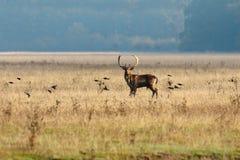 Estorninos de los ciervos en barbecho y del vuelo Fotos de archivo libres de regalías