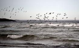 Estorninos en la playa del océano Fotografía de archivo libre de regalías