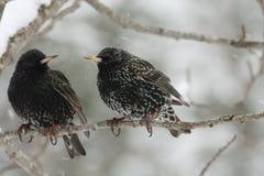 Estorninos en nieve Fotos de archivo