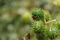 Estróbilos espinosos verdes Imágenes de archivo libres de regalías